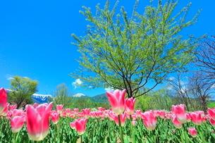 チューリップ畑と緑樹に北アルプスの写真素材 [FYI03826053]