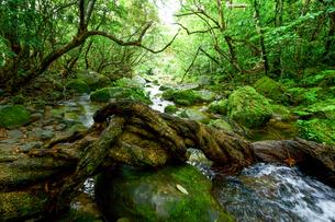 西表島のジャングルの写真素材 [FYI03826140]