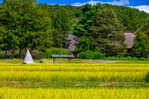 稲穂が黄色く色づいた遠野ふるさと村の写真素材 [FYI03826515]