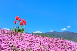 芝桜とチューリップに北アルプスの写真素材 [FYI03826745]