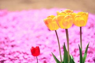 芝桜とチューリップの花の写真素材 [FYI03826753]