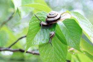 雨上がりに葉の上を這うカタツムリの写真素材 [FYI03826891]