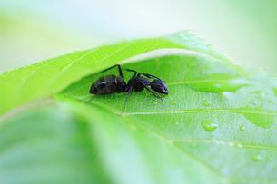 葉の下で雨宿りするアリの写真素材 [FYI03826893]