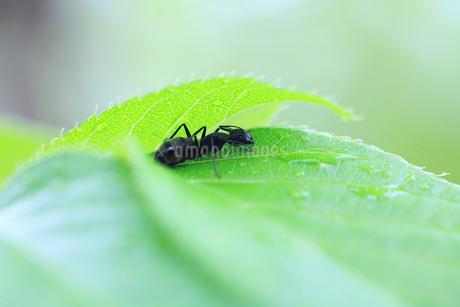 葉の下で雨宿りするアリの写真素材 [FYI03826894]