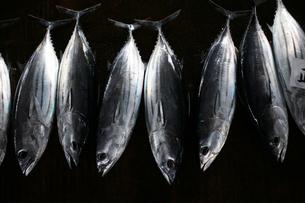 漁港に並べられたカツオの写真素材 [FYI03826901]