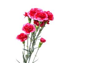 カーネーションの花束の写真素材 [FYI03826964]