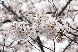 満開の桜の写真素材 [FYI03827202]
