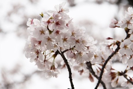 満開の桜の写真素材 [FYI03827205]