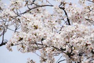 満開の桜の写真素材 [FYI03827208]