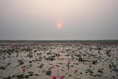 タレーブアデーンの蓮の花の写真素材 [FYI03827418]