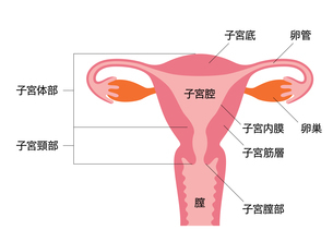 子宮の人体図のイラスト素材 [FYI03827435]
