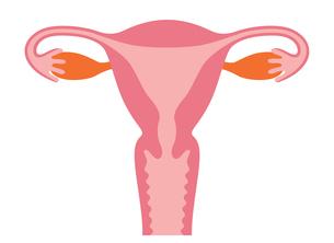 子宮の人体図のイラスト素材 [FYI03827437]