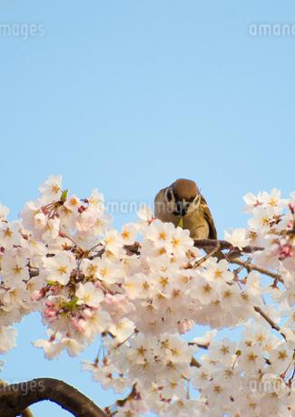 スズメと桜の写真素材 [FYI03827629]