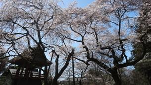 光丸山法輪寺に咲く西行桜の写真素材 [FYI03827703]