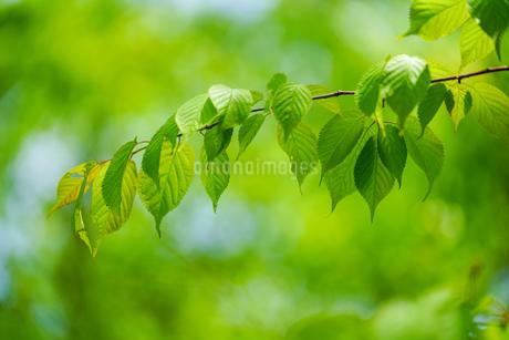 緑の葉の写真素材 [FYI03827769]
