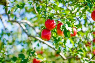 りんごの写真素材 [FYI03827772]