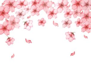 桜の花水彩画のイラスト素材 [FYI03827801]