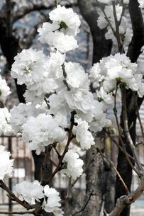 白い桃の花の写真素材 [FYI03828153]