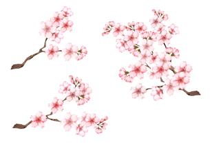 桜の枝セットのイラスト素材 [FYI03828238]