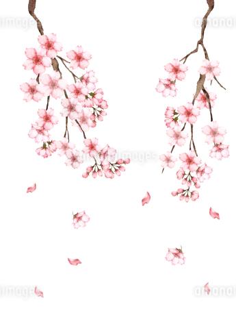 桜の枝水彩画のイラスト素材 [FYI03828239]