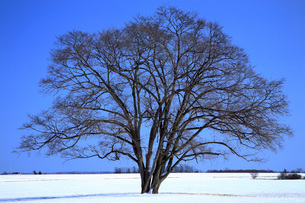 2月 ハルニレの木の写真素材 [FYI03828310]