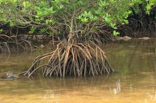7月 吹通川のヒルギ群落の写真素材 [FYI03828346]