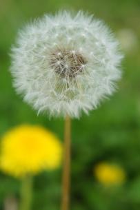 タンポポの綿毛の写真素材 [FYI03828382]
