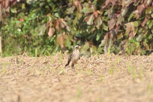 野鳥/鷹の写真素材 [FYI03828523]