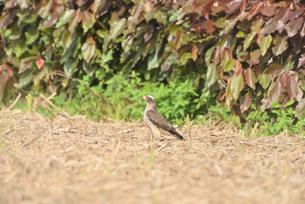 野鳥/鷹の写真素材 [FYI03828527]