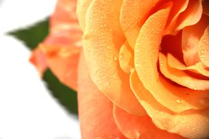薔薇のクローズアップの写真素材 [FYI03828541]