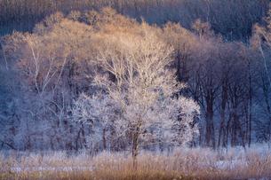 早朝の霧氷の写真素材 [FYI03828549]