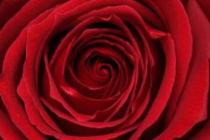 バラの花 赤の写真素材 [FYI03828705]