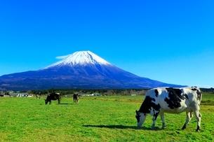 朝霧高原より富士山と牛の写真素材 [FYI03828788]