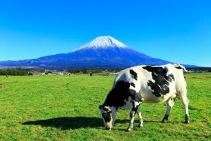 朝霧高原より富士山と牛の写真素材 [FYI03828792]
