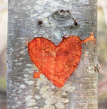 木の幹に彫られたハートの写真素材 [FYI03829078]
