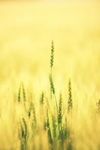小麦畑の写真素材 [FYI03829228]