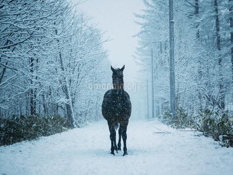 冬の馬の写真素材 [FYI03829238]