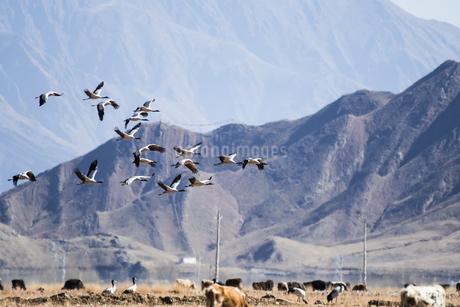 オグロヅルの群れの飛翔 チベット ラサ近郊の写真素材 [FYI03829288]