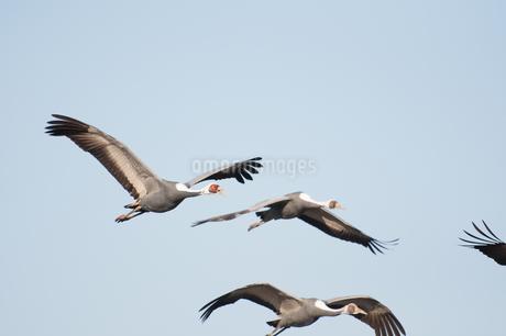 マナヅルの飛翔 出水の写真素材 [FYI03829415]