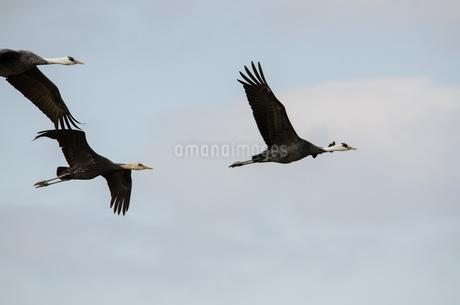 ナベヅルの飛翔 出水の写真素材 [FYI03829419]