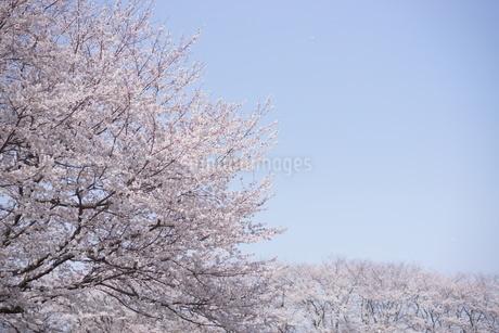 桜並木の写真素材 [FYI03829480]