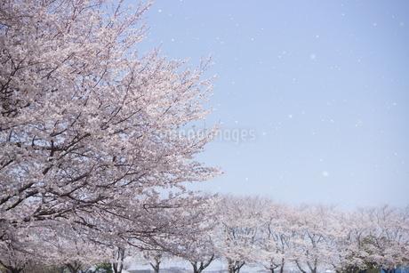 桜並木~桜吹雪の写真素材 [FYI03829481]