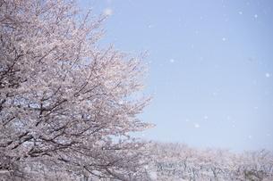 桜並木~桜吹雪の写真素材 [FYI03829482]