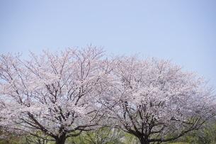 桜並木の写真素材 [FYI03829483]