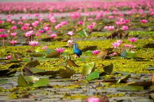 タレーブアデーンの蓮の花とセイケイの写真素材 [FYI03829655]