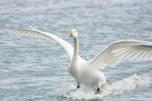 オオハクチョウの着水 北浜白鳥公園の写真素材 [FYI03829673]
