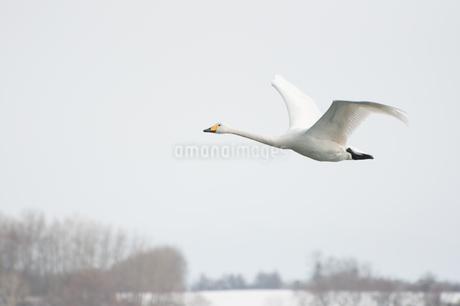 オオハクチョウの飛翔 北浜白鳥公園の写真素材 [FYI03829683]