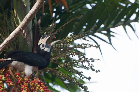 キタカササギサイチョウ マレーシア ランカウイ島の写真素材 [FYI03829716]