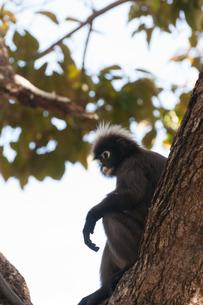 シロマブタザル マレーシア ランカウイ島の写真素材 [FYI03829722]