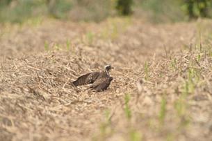 野鳥/鷹の写真素材 [FYI03829745]